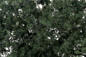 Tmavé lístia (Fine-Leaf Foliage ™ Dark Green) - F1130